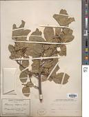 view Rhamnus alpina L. digital asset number 1