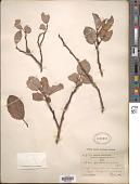 view Salix hallisanensis H. Lév. digital asset number 1