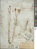 view Calochortus eurycarpus S. Watson digital asset number 1