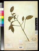 view Minquartia parvifolia A.C. Sm. digital asset number 1