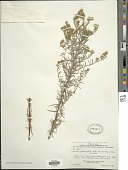view Athrixia rosmarinifolia (Sch. Bip. ex Walp.) Oliv. & Hiern digital asset number 1