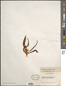 view Ornithogalum lanceolatum Labill. digital asset number 1