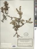 view Juniperus communis L. digital asset number 1