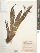 view Catopsis nitida (Hook.) Griseb. digital asset number 1