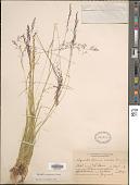 view Agrostis oregonensis Vasey digital asset number 1