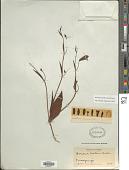 view Bomarea pauciflora (Kunth) Herb. digital asset number 1