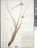 view Cyperus cyperinus (Retz.) Valck. Sur. digital asset number 1