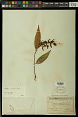 view Vochysia pyramidalis Mart. digital asset number 1