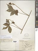 view Ipomoea aegyptia L. digital asset number 1