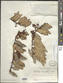 view Ceratostema loranthiflorum Benth. digital asset number 1