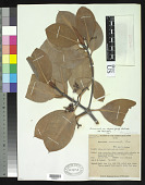 view Rhizophora mucronata var. stylosa Lam. digital asset number 1