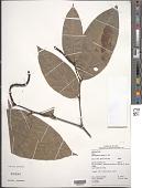 view Piper bartlingianum (Miq.) C. DC. digital asset number 1