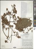 view Graffenrieda cucullata (Triana) L.O. Williams digital asset number 1