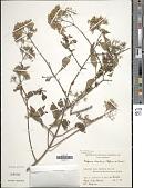 view Machaonia brasiliensis (Hoffmanns. ex Humb.) Cham. & Schltdl. digital asset number 1