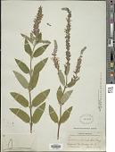 view Teucrium canadense var. occidentale (A. Gray) E. M. McClint. & Epling digital asset number 1