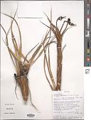 view Vellozia tubiflora (A. Rich.) Kunth digital asset number 1