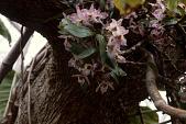 view Dendrobium bigibbum Lindl. digital asset number 1