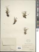 view Houstonia caerulea var. faxonorum Pease & A.H. Moore digital asset number 1