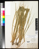 view Leymus triticoides (Buckley) Pilg. digital asset number 1