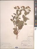 view Spiraea lucida Douglas ex Greene digital asset number 1