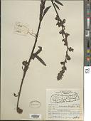 view Pedicularis trichoglossa Hook. f. digital asset number 1