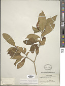 view Tabernaemontana divaricata (L.) Aiton ex Roem. & Schult. digital asset number 1
