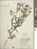 view Aster leucanthemus Raf. digital asset number 1