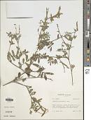 view Tephrosia polystachya E. Mey. digital asset number 1