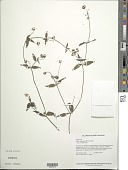 view Calea caleoides (DC.) H. Rob. digital asset number 1