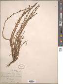 view Penstemon linarioides subsp. compactifolius D.D. Keck digital asset number 1