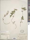 view Humulus japonicus Siebold & Zucc. digital asset number 1