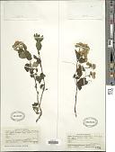 view Ageratina ibaguensis (Sch. Bip. ex Hieron.) R.M. King & H. Rob. digital asset number 1