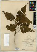 view Wissadula grandifolia Baker f. ex Rusby digital asset number 1