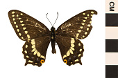view Indra Swallowtail, Cliff Swallowtail digital asset number 1