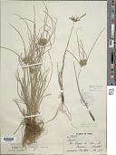 view Cyperus tenuis Sw. digital asset number 1