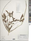 view Cyperus sp. digital asset number 1