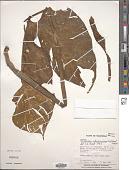 view Philodendron rothschuhianum (Engl.) Croat & Grayum digital asset number 1