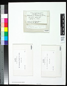 view Ochrolechia frigida (Sw.) Lynge digital asset number 1