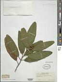 view Viburnum rhytidophyllum digital asset number 1