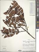view Myrsine coriacea (Sw.) Aiton ex Roem. & Schult. digital asset number 1