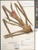 view Guzmania lingulata var. flammea (L.B. Sm.) L.B. Sm. digital asset number 1