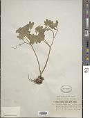 view Chrysosplenium griffithii Hook. f. & Thomson digital asset number 1