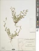 view Ornithopus perpusillus L. digital asset number 1