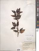 view Populus balsamifera L. digital asset number 1