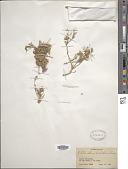 view Pteranthus dichotomus Forssk. digital asset number 1