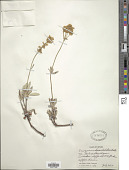 view Eriogonum heracleoides Nutt. var. heracleoides digital asset number 1