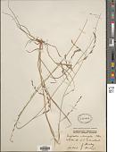 view Eragrostis speciosa (Roem. & Schult.) Steud. digital asset number 1