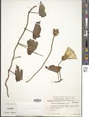 view Calystegia macrostegia subsp. macrostegia digital asset number 1