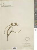 view Aspalathus lotoides Thunb. digital asset number 1