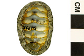 view Conspicuous Chiton digital asset number 1